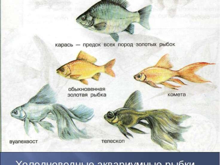 Холодноводные аквариумные рыбки