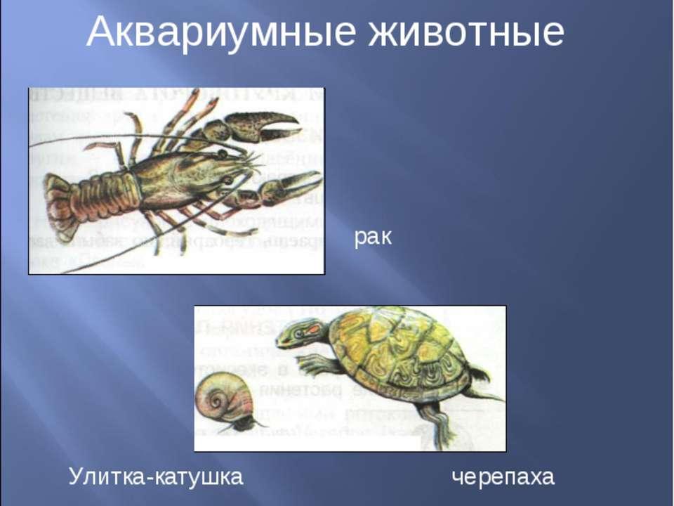 Аквариумные животные рак Улитка-катушка черепаха