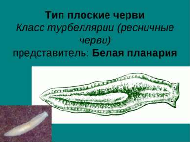 Тип плоские черви Класс турбеллярии (ресничные черви) представитель: Белая пл...