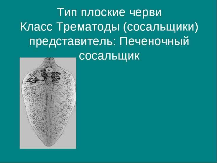 Тип плоские черви Класс Трематоды (сосальщики) представитель: Печеночный соса...