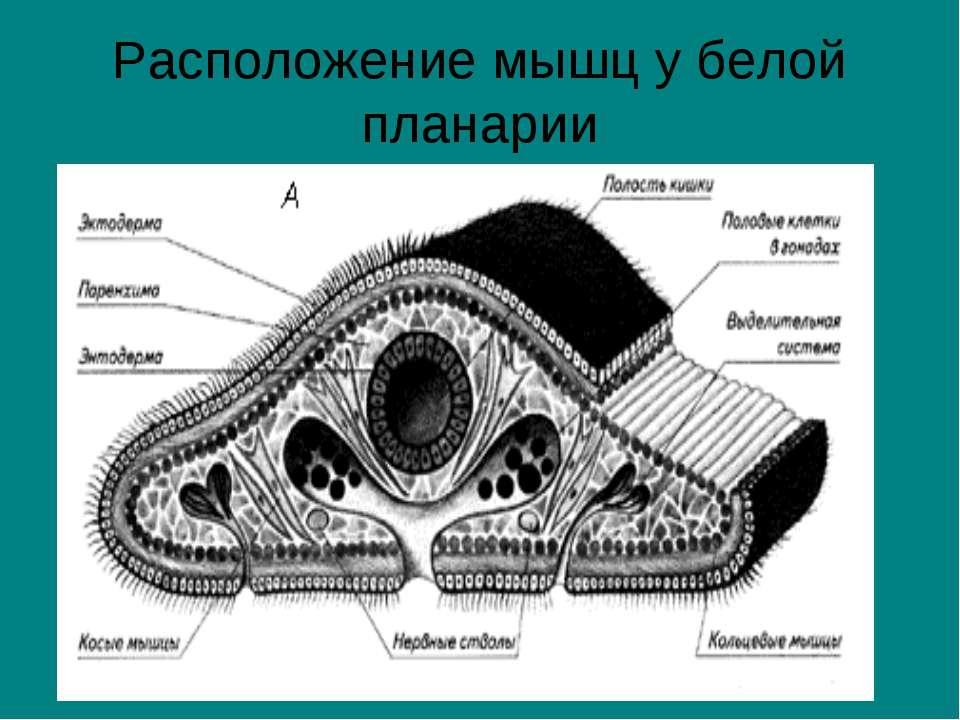Расположение мышц у белой планарии