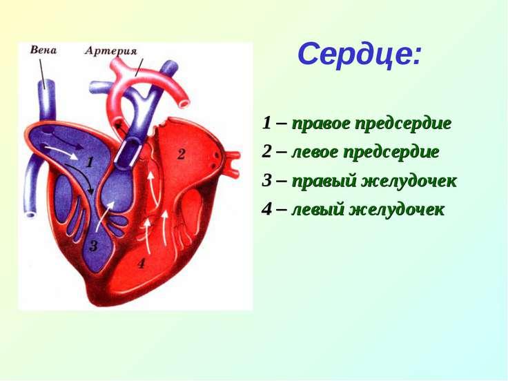 Сердце: 1 – правое предсердие 2 – левое предсердие 3 – правый желудочек 4 – л...