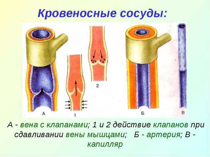 Кровеносные сосуды: А - вена с клапанами; 1 и 2 действие клапанов при сдавлив...