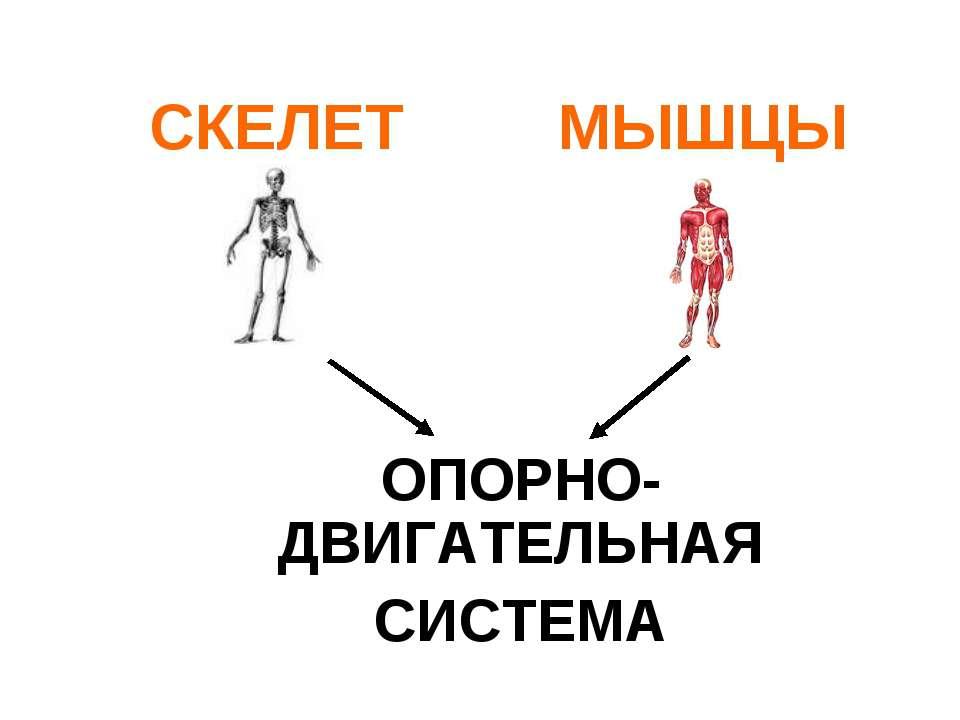 СКЕЛЕТ МЫШЦЫ ОПОРНО-ДВИГАТЕЛЬНАЯ СИСТЕМА