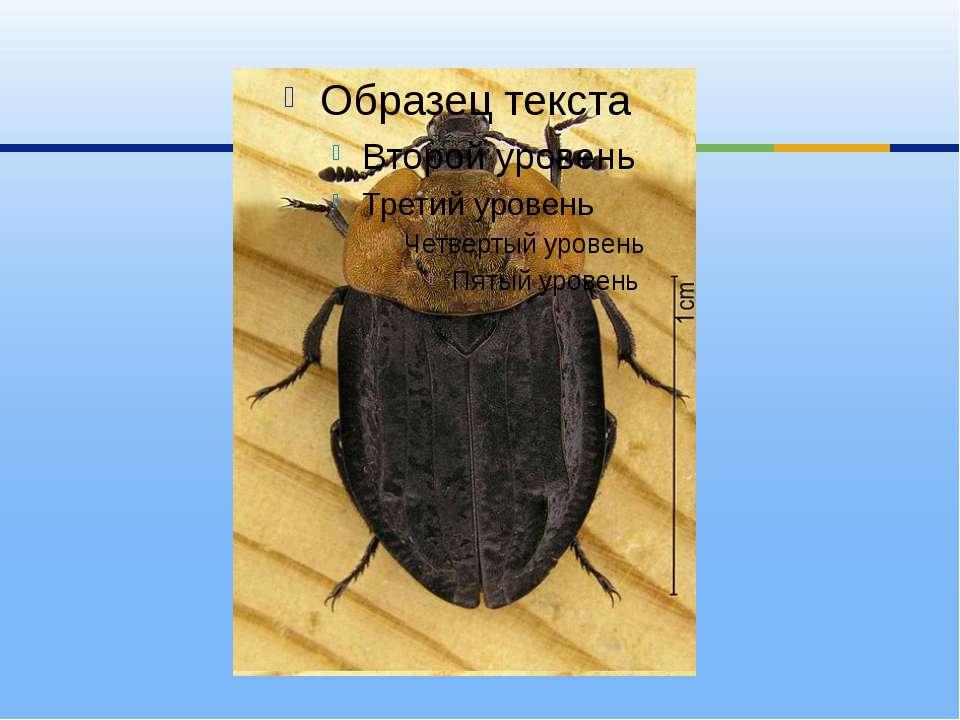 Другие виды помимо падали поедают живых слизней и улиток: мертвоеды перфориро...