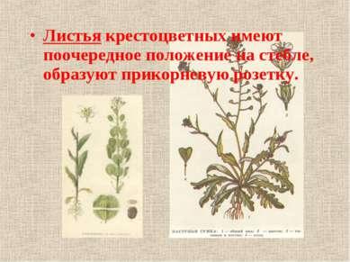Листья крестоцветных имеют поочередное положение на стебле, образуют прикорне...