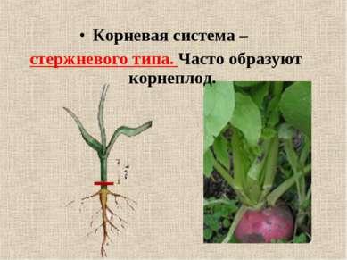 Корневая система – стержневого типа. Часто образуют корнеплод.
