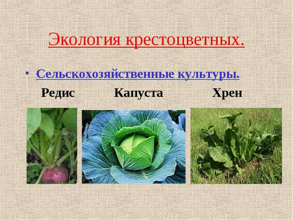 Экология крестоцветных. Сельскохозяйственные культуры. Редис Капуста Хрен