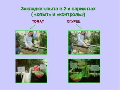 Закладка опыта в 2-х вариантах ( «опыт» и «контроль») ТОМАТ ОГУРЕЦ
