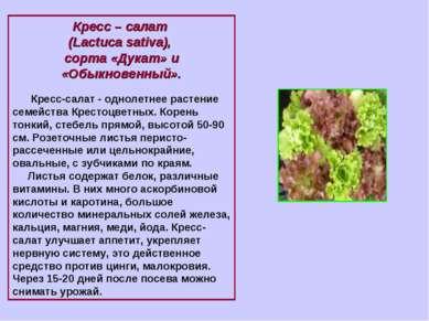 Кресс – салат (Lactuca sativa), сорта «Дукат» и «Обыкновенный». Кресс-салат ...