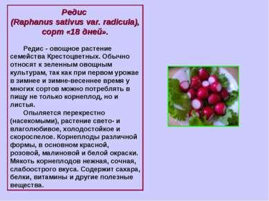 Редис (Raphanus sativus var. radicula), сорт «18 дней». Редис - овощное расте...