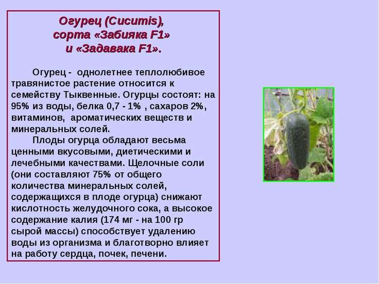 Огурец (Cucumis), сорта «Забияка F1» и «Задавака F1». Огурец - однолетнее теп...