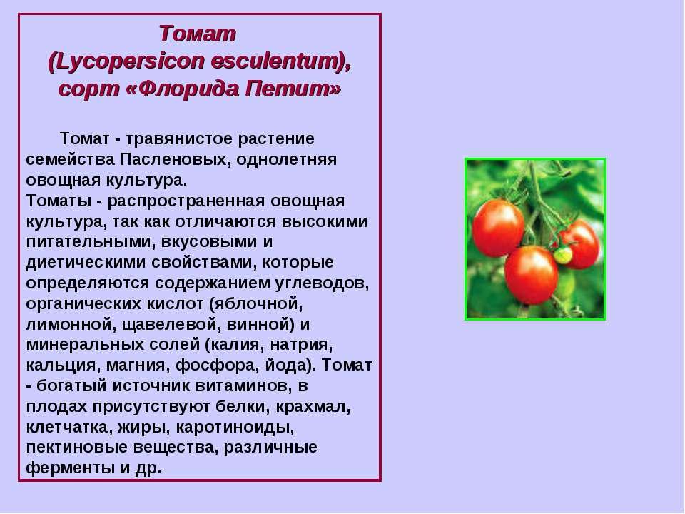 Томат (Lycopersicon esculentum), сорт «Флорида Петит» Томат - травянистое рас...