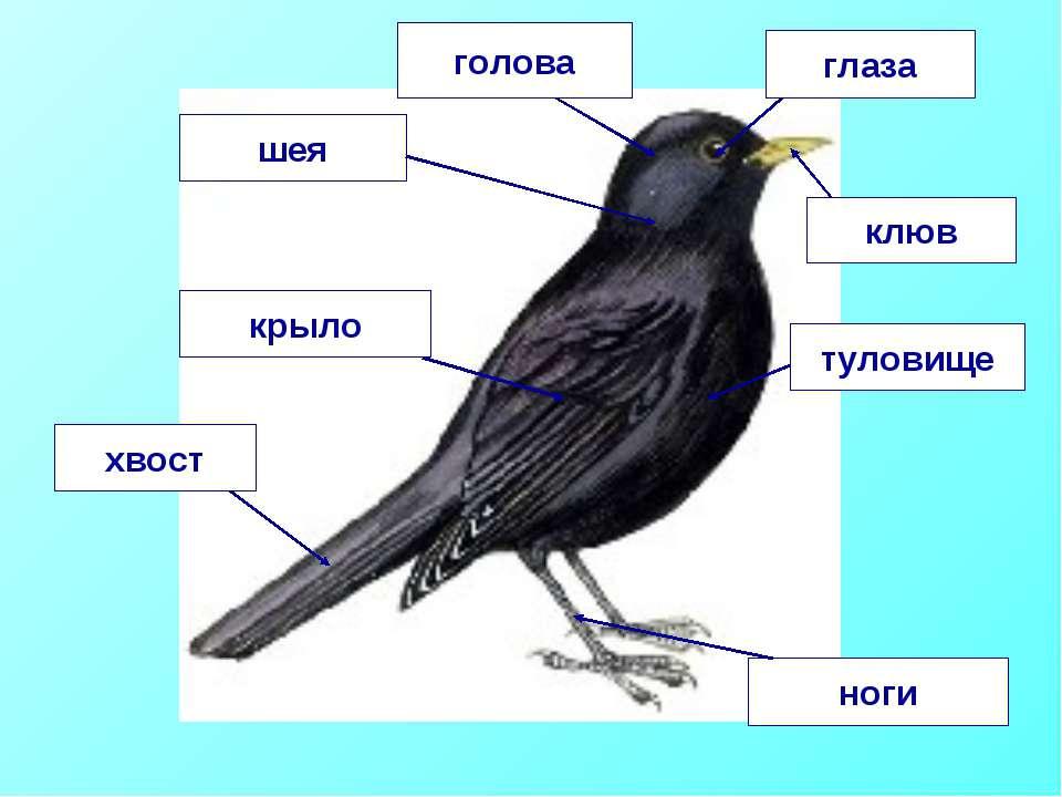 голова шея глаза туловище крыло хвост ноги клюв