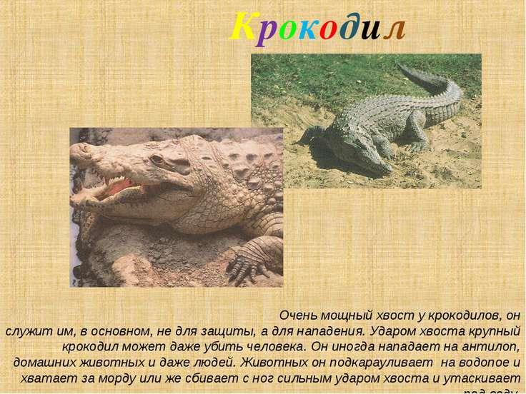 Крокодил Очень мощный хвост у крокодилов, он служит им, в основном, не для за...