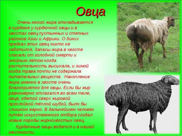 Овца Очень много жира откладывается в курдюке у курдючной овцы и в хвостах ов...