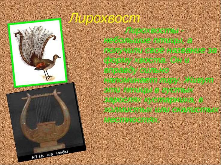 Лирохвост Лирохвосты - небольшие птицы, а получили своё название за форму хво...