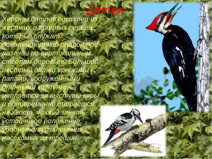Дятел Хвосты дятлов состоят из жестких и прочных перьев, которые служат допол...