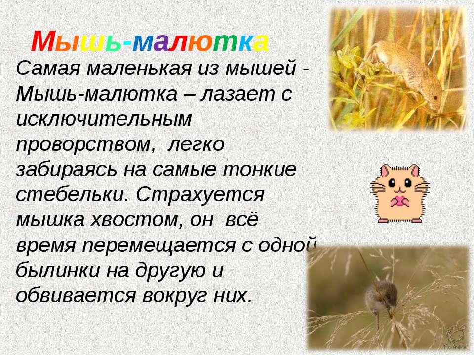Мышь-малютка Самая маленькая из мышей - Мышь-малютка – лазает с исключительны...