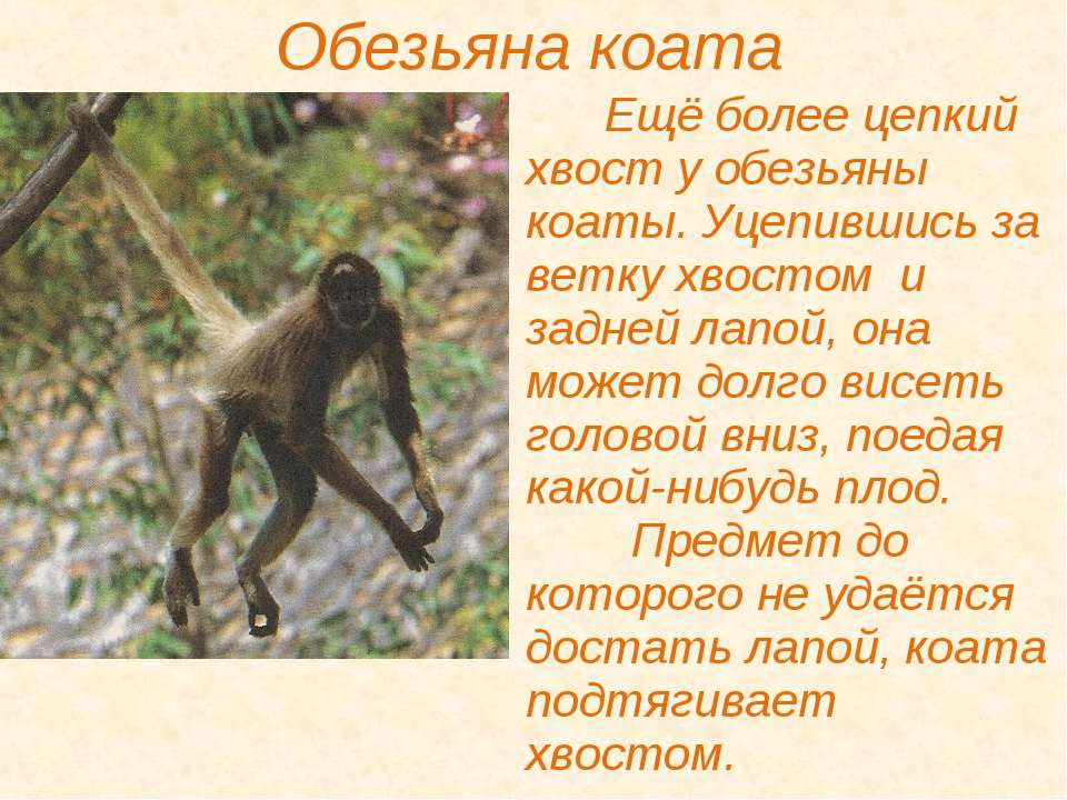 Обезьяна коата Ещё более цепкий хвост у обезьяны коаты. Уцепившись за ветку х...