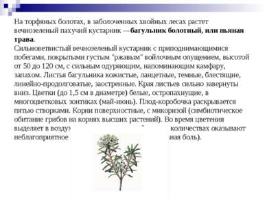 На торфяных болотах, в заболоченных хвойных лесах растет вечнозеленый пахучий...