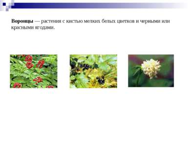 Воронцы— растения с кистью мелких белых цветков и черными или красными ягода...