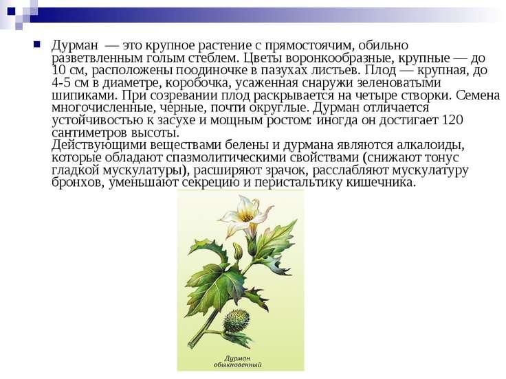 Дурман — это крупное растение с прямостоячим, обильно разветвленным голым ст...