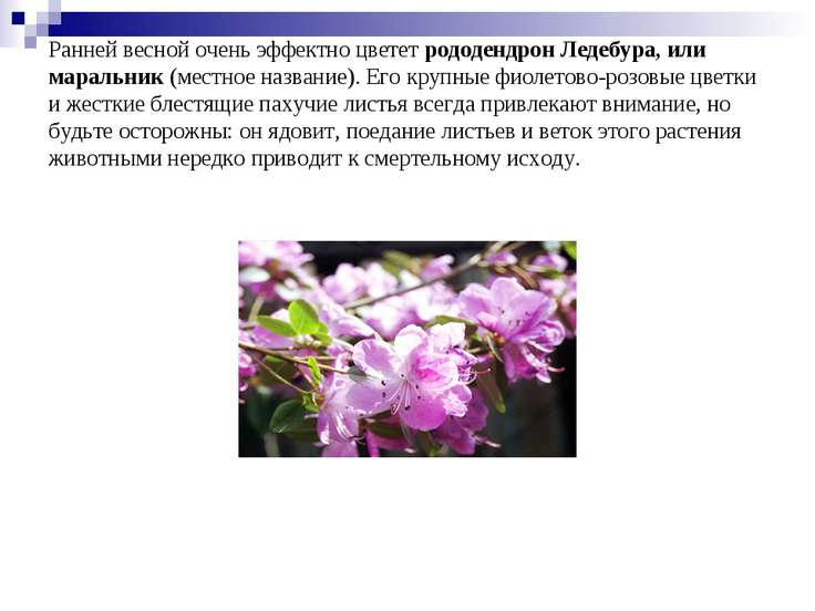 Ранней весной очень эффектно цвететрододендрон Ледебура, или маральник(мест...