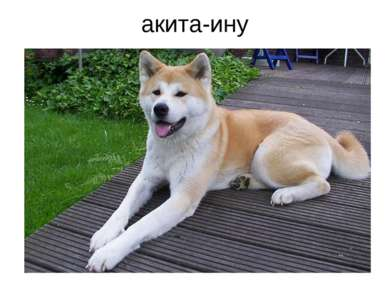 акита-ину