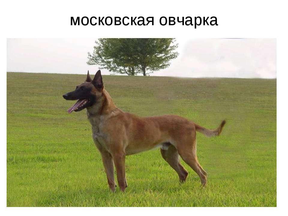 московская овчарка