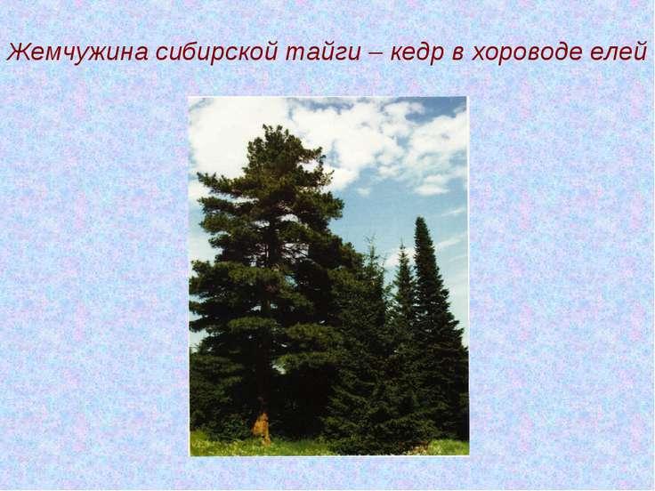Жемчужина сибирской тайги – кедр в хороводе елей