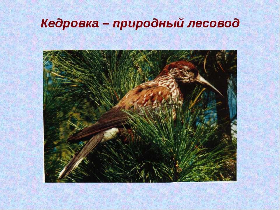 Кедровка – природный лесовод