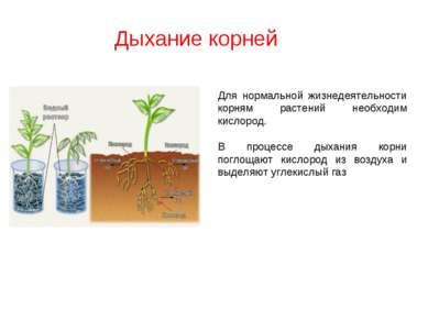 Дыхание корней Для нормальной жизнедеятельности корням растений необходим кис...