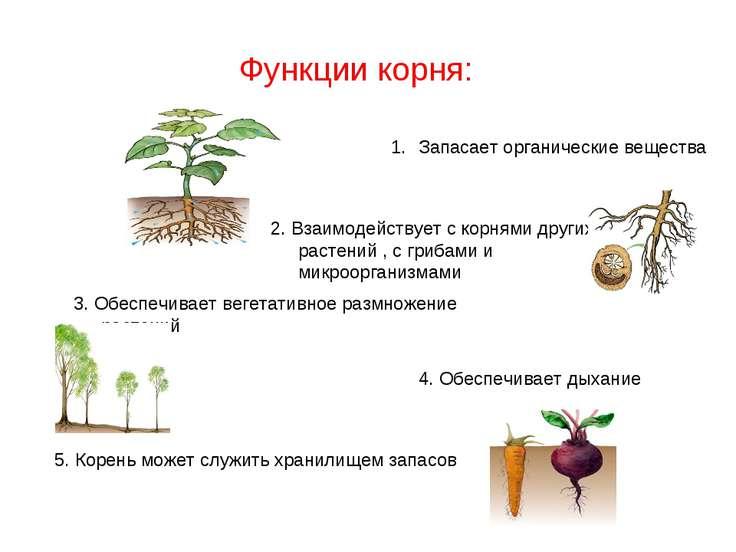 Функции корня: Запасает органические вещества 2. Взаимодействует с корнями др...