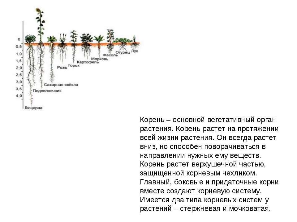 Корень – основной вегетативный орган растения. Корень растет на протяжении вс...