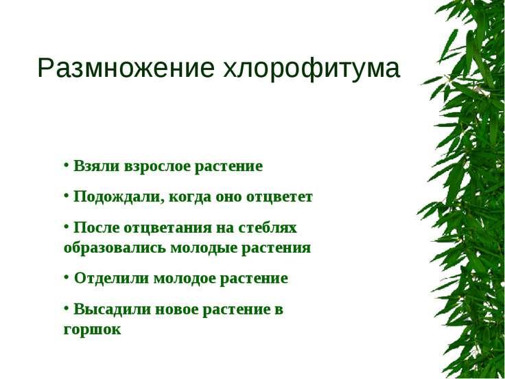 Размножение хлорофитума Взяли взрослое растение Подождали, когда оно отцветет...