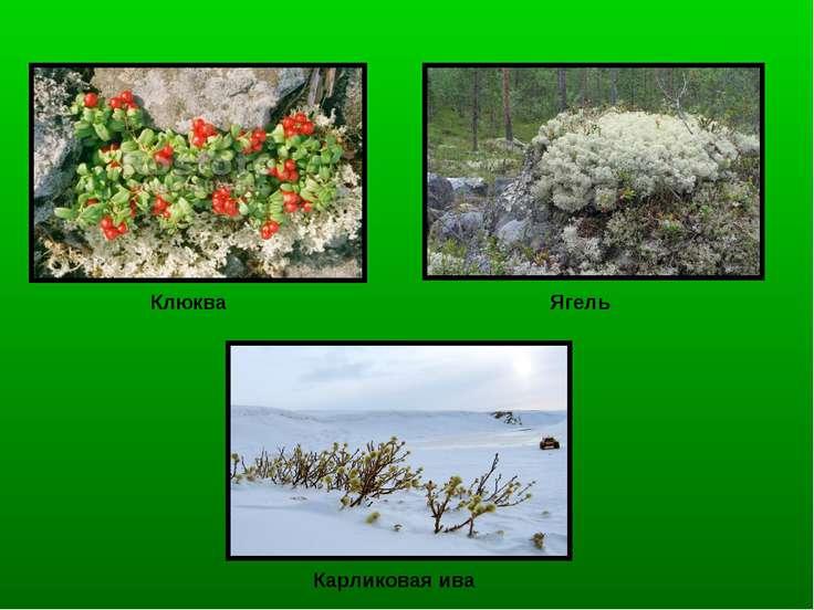 Клюква Ягель Карликовая ива