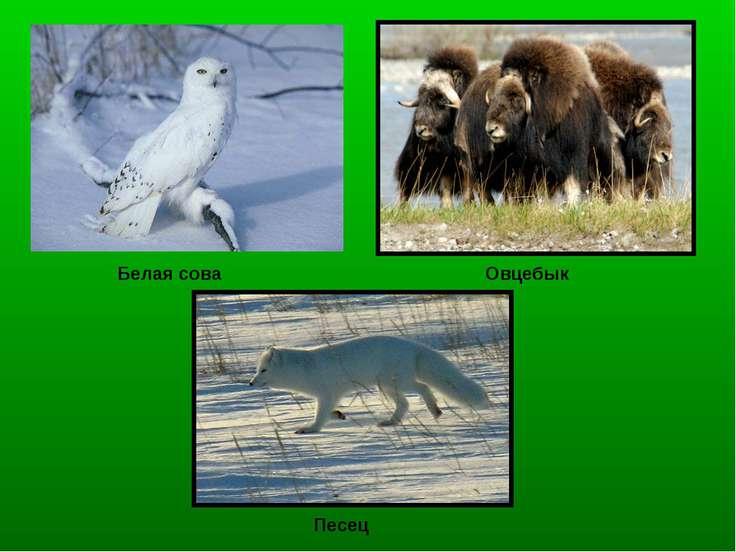 Песец Овцебык Белая сова