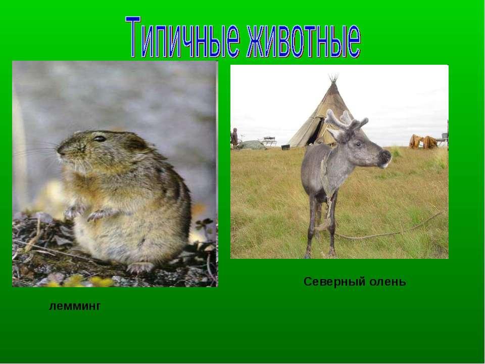 Северный олень лемминг