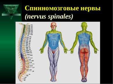 Спинномозговые нервы (nervus spinales)