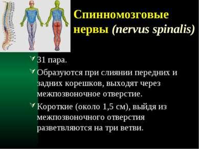 Спинномозговые нервы (nervus spinalis) 31 пара. Образуются при слиянии передн...