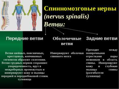 Спинномозговые нервы (nervus spinalis) Ветви: Спинномозговые нервы Передние в...