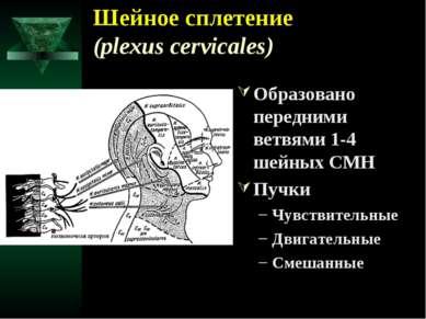 Шейное сплетение (plexus cervicales) Образовано передними ветвями 1-4 шейных ...
