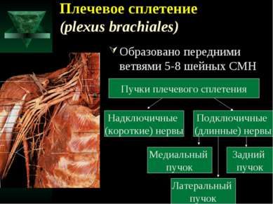 Плечевое сплетение (plexus brachiales) Образовано передними ветвями 5-8 шейны...