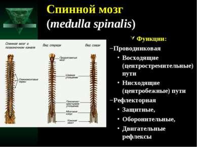 Спинной мозг (medulla spinalis) Функции: Проводниковая Восходящие (центростре...