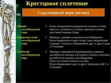 Крестцовое сплетение Седалищный нерв (ветви)