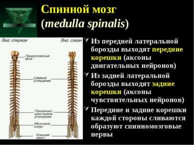 Спинной мозг (medulla spinalis) Из передней латеральной борозды выходят перед...