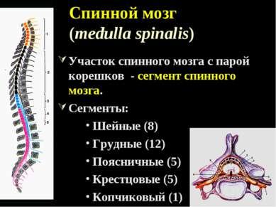 Спинной мозг (medulla spinalis) Участок спинного мозга с парой корешков - сег...