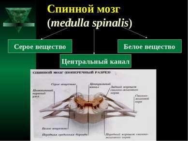 Спинной мозг (medulla spinalis) Серое вещество Белое вещество Центральный канал