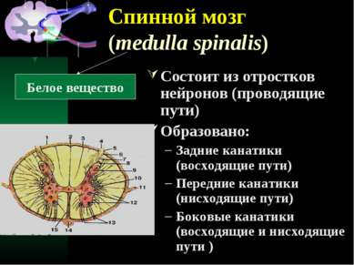 Спинной мозг (medulla spinalis) Состоит из отростков нейронов (проводящие пут...